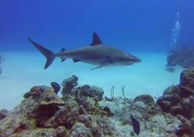 Plongée en compagnie d'un requin