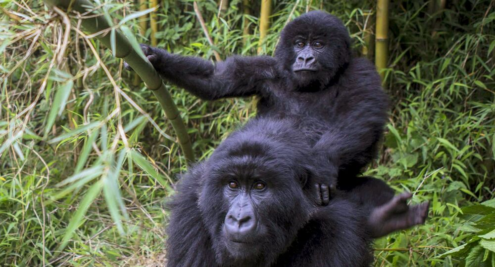 Un gorille de montagne avec son bébé