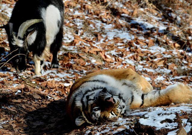 L'amitié entre le bouc et le tigre