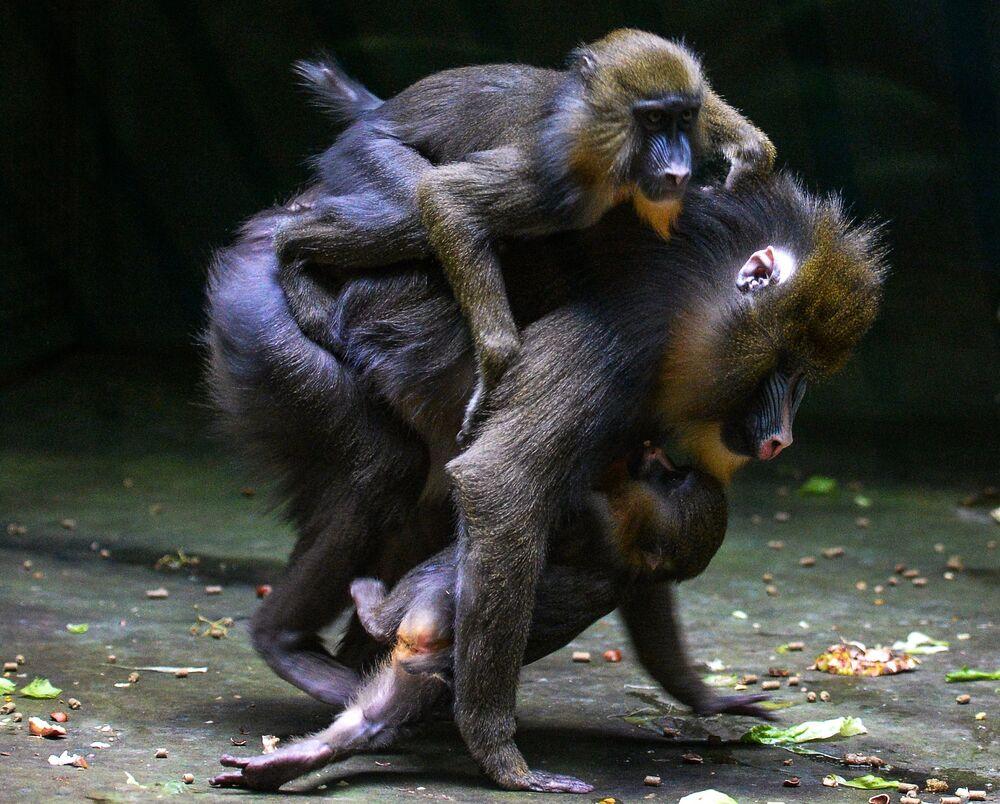 Singes et leurs petits du parc zoologique de Moscou