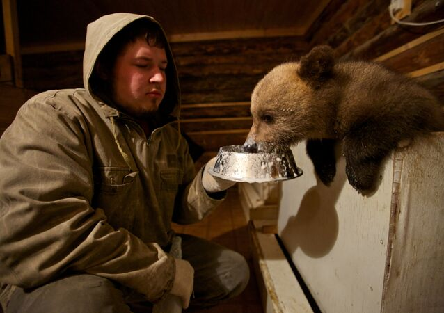 Les biologistes nourrit un ours à la station biologique forêt propre dans le village Bubonitsy