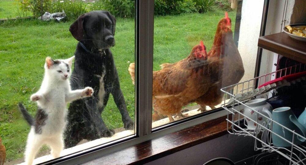 un chat, un chien et deux poules regardent par la fenêtre