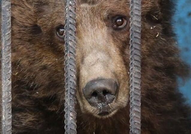 Ours du zoo de Gumri