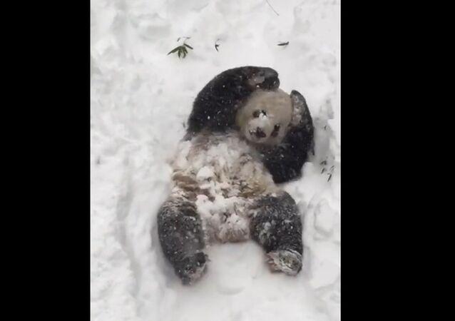 Le panda qui s'amuse dans la neige