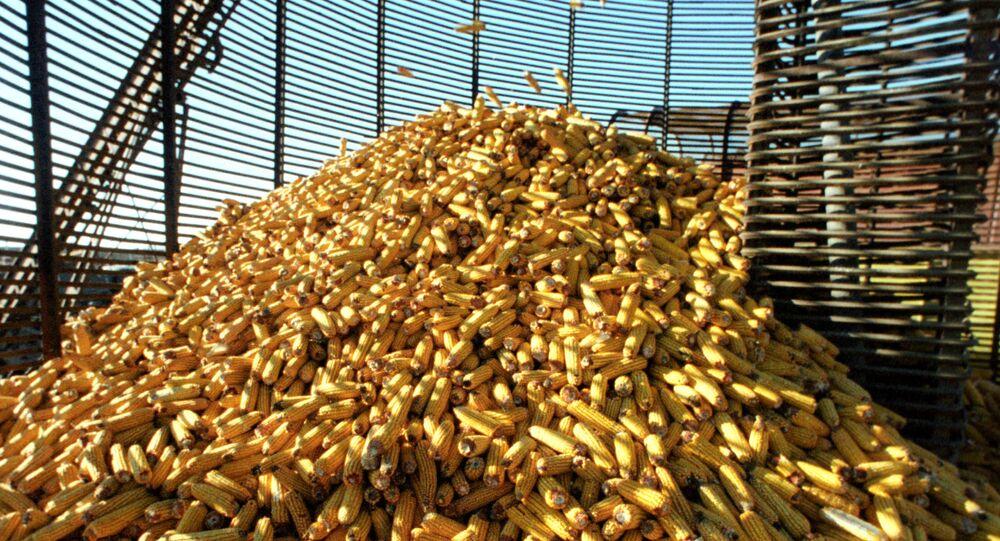 Des épis de maïs