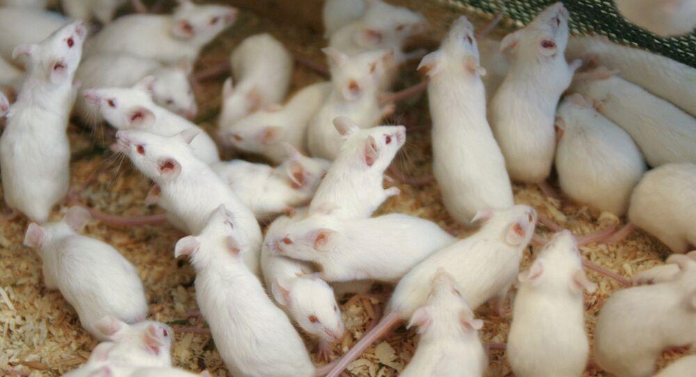 Les souris n'aiment pas le fromage! Des scientifiques mettent fin aux mythes