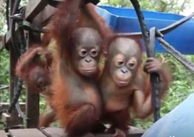 L'école de la jungle pour les orangs-outans