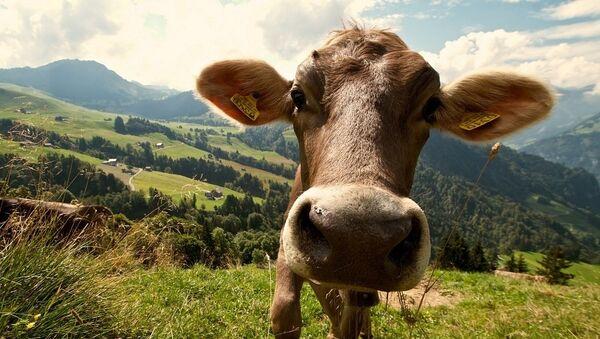 Vache - Sputnik France