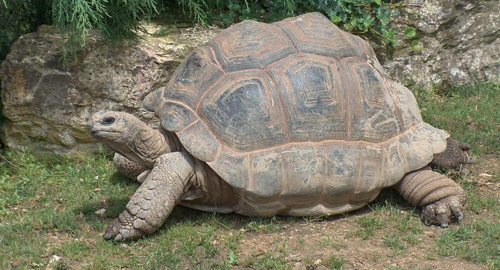 La «tortue-banque» n'a pas survécu aux complications de son opération