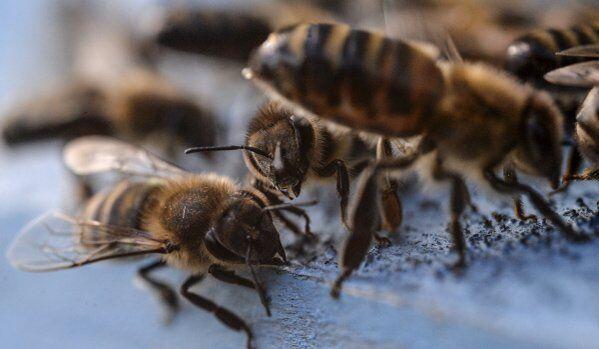 La disparition des abeilles sonnera le glas de l'humanité