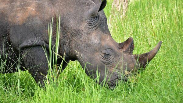 rhinocéros  - Sputnik France