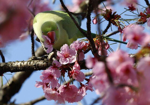 Sakura à Tokyo
