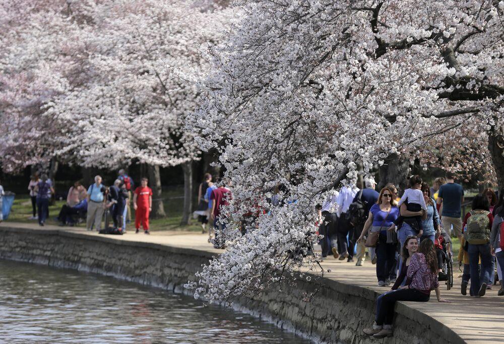 La magie des sakura