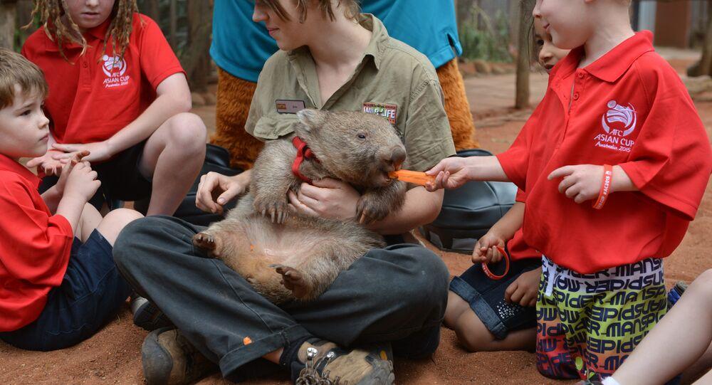 Vous cherchez du travail en Australie? Serrez juste un wombat dans vos bras!