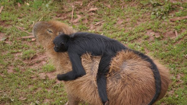 Le capybara et son compagnon - Sputnik France