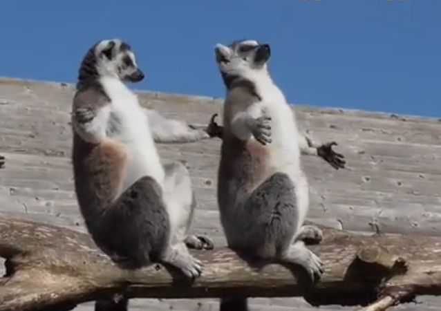 Les lémuriens qui prennent le soleil