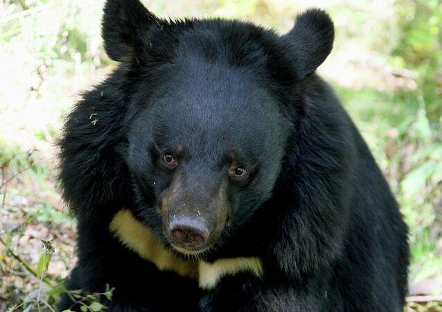Un ours de l'Himalaya