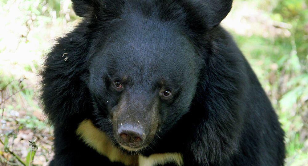 L'étrange amitié d'un ours et d'un blaireau dans l'Extrême-Orient russe