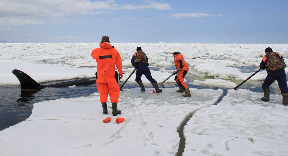 Les sauveteurs russes ont libéré trois orques d'une prison de glace