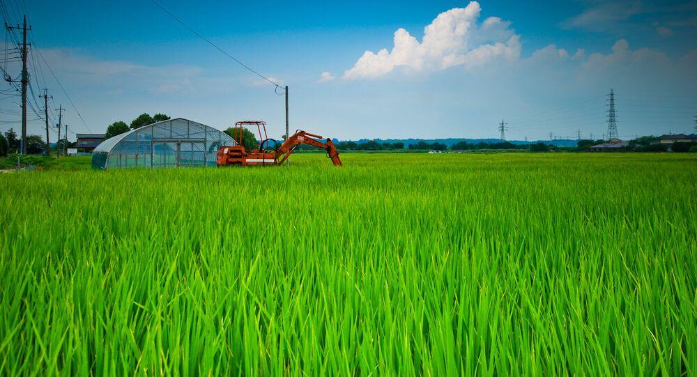 Sakura Rice Fields