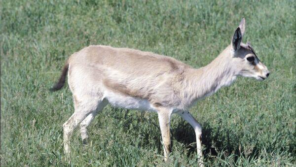 Gazelle à goitre - Sputnik France