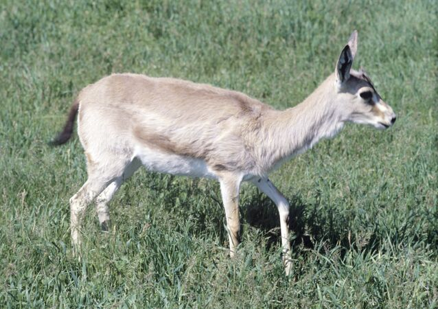 Gazelle à goitre