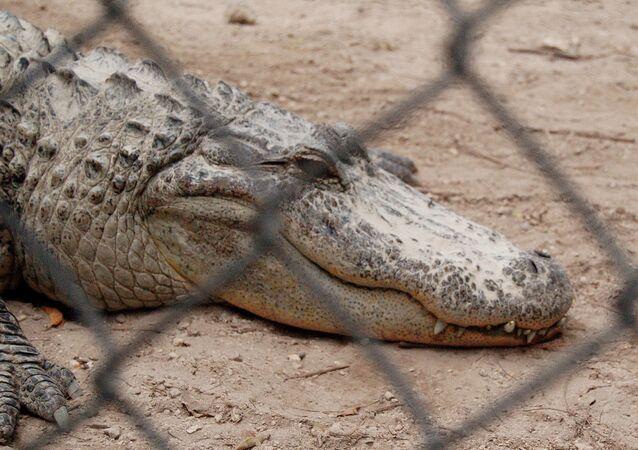 Un alligator géant