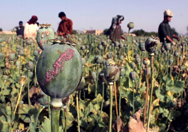 In this photograph taken on April 27, 2015, Afghan farmers harvest opium sap from a poppy field in Panjwai District of Kandahar province