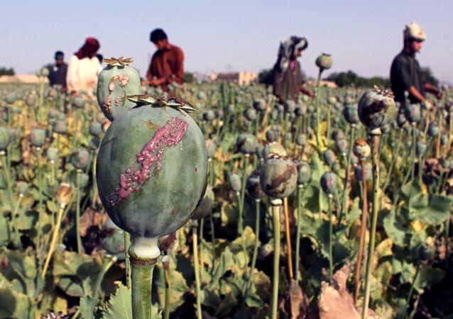 Des agriculteurs afghans dans un champ de pavot de la province de Kandahar (archive photo)
