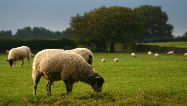 moutons - Sputnik France