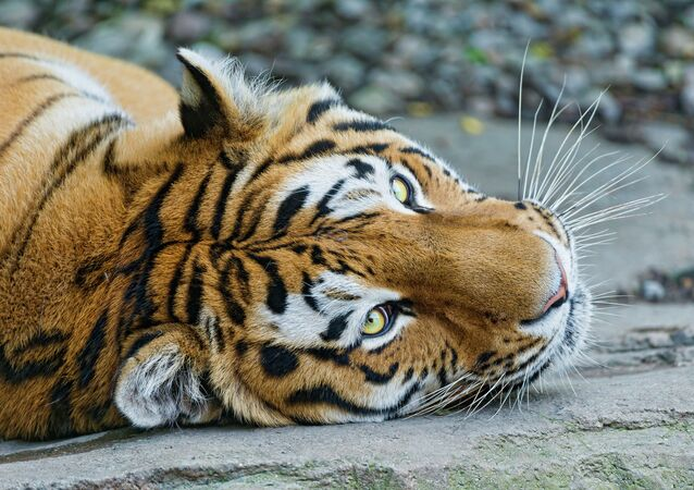 Tigre (image d'illustration)