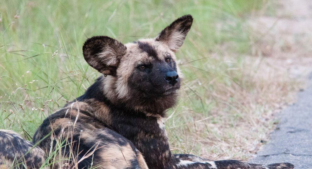 loup en Afrique