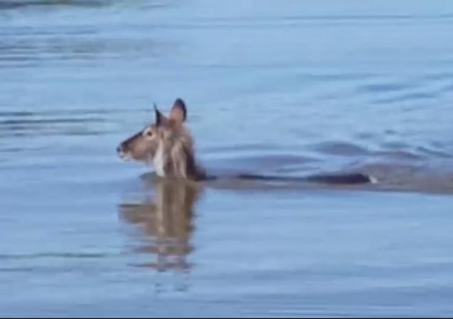 La course du crocodile et de l'antilope