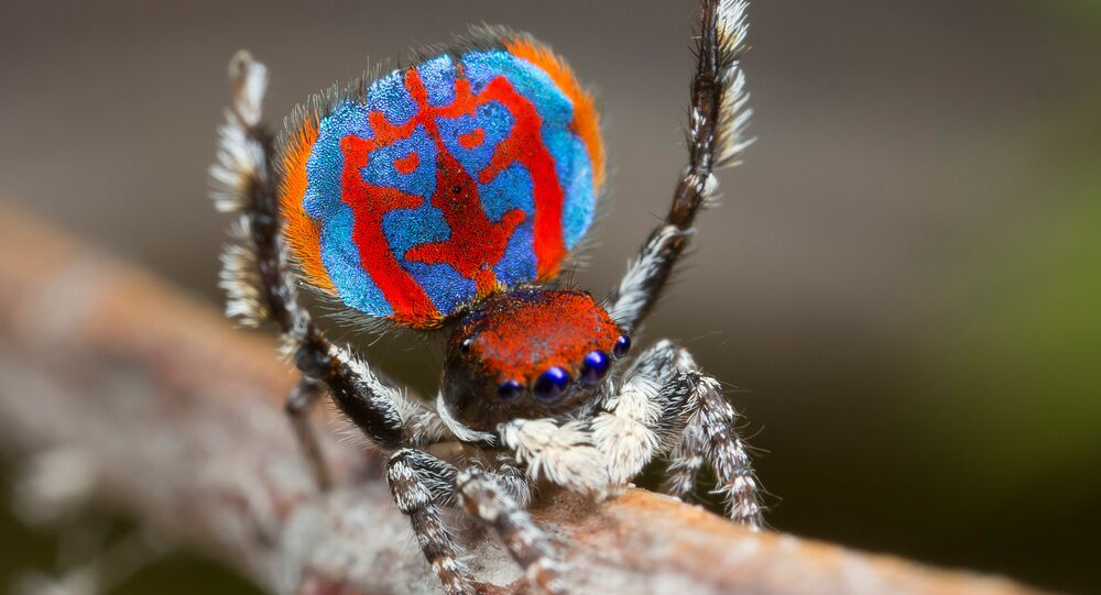 Une araignée du genre Maratus