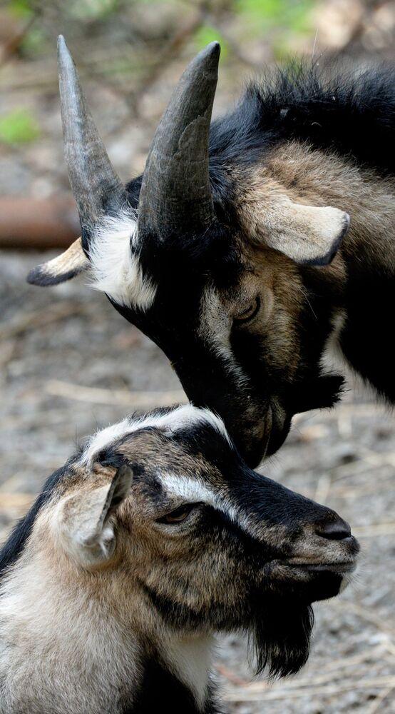 Le parc safari de Primorié est prêt à transmettre cinq boucs-enfants de Timour à tous les bénévoles