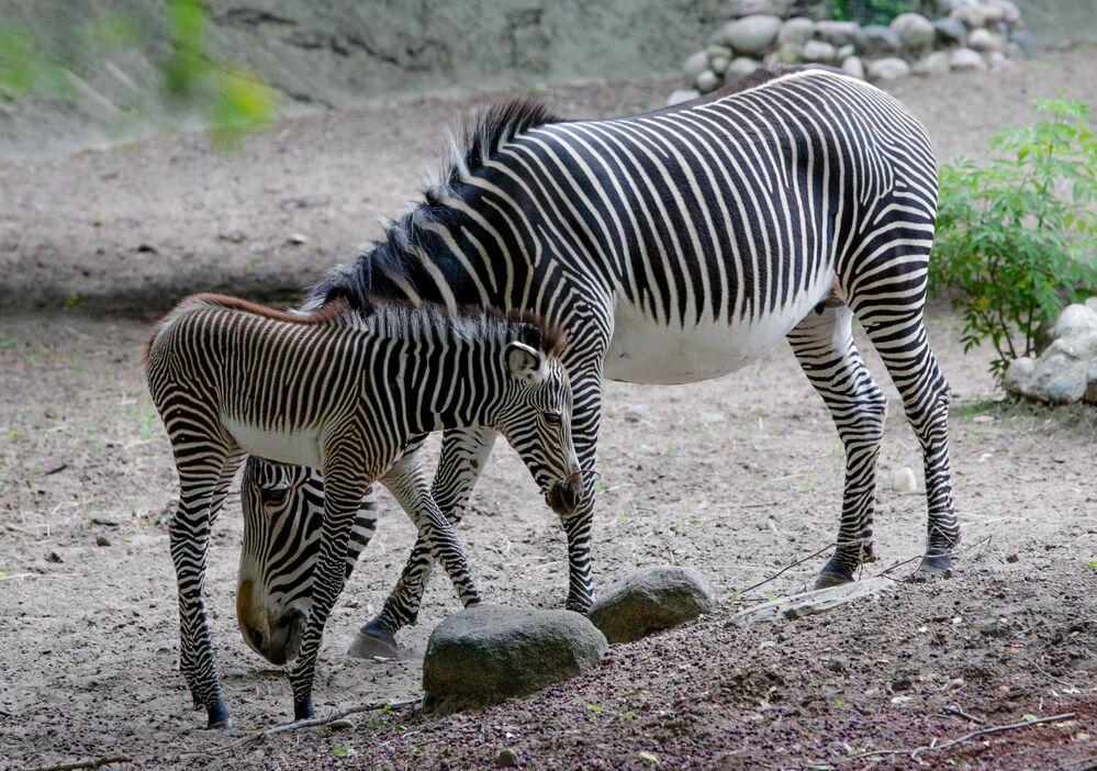 Le 18 juin, le zèbre Adi du zoo de Chicago a accouché d'une femelle nommée Grevi