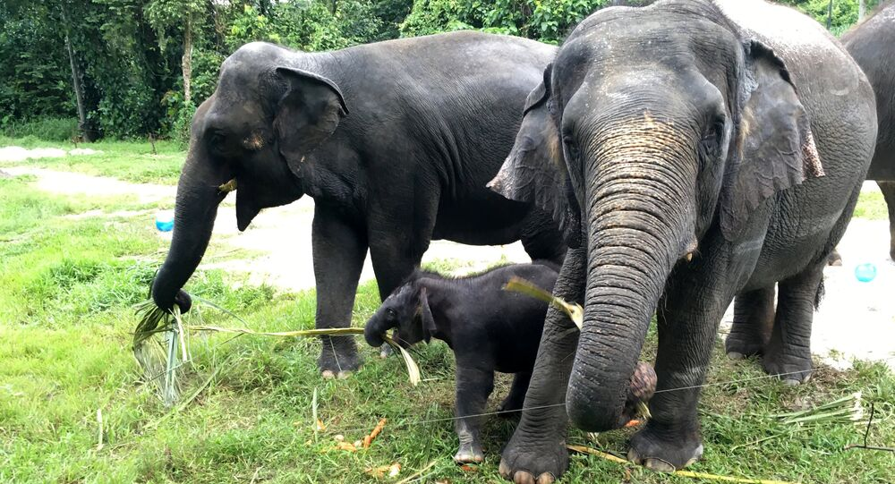 The Singapore Night Safari's first baby elephant calf (C) to be born in six years, is seen as she plays at the zoo, June 28, 2016