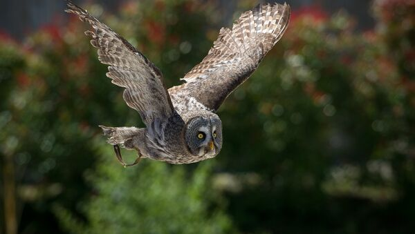 An owl is pictured at the Beauval Zoo in Saint-Aignan, near Tours, on June 23, 2016 - Sputnik France