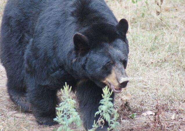Un ours noir chinois pris la main dans le sac