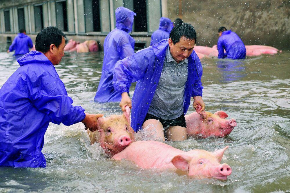Les employés d'une ferme en train de sauver des cochons lors d'une inondation dans la ville de Lu'an en Chine.
