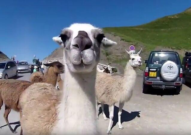 Lamas au Tourmalet