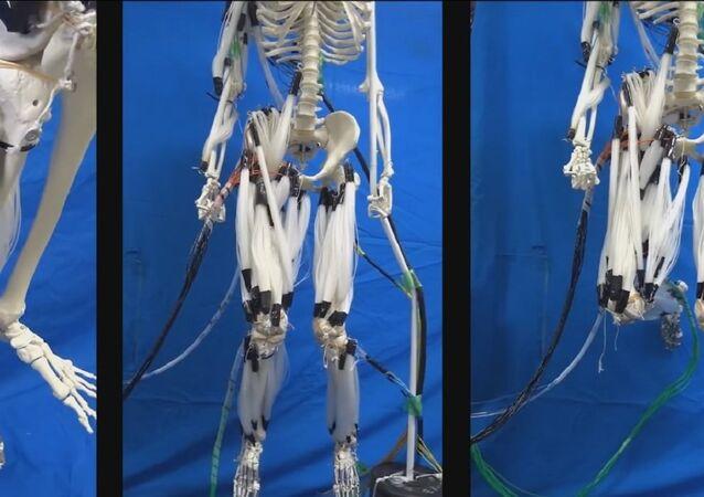 Les scientifiques font bouger un squelette humain avec des muscles artificiels