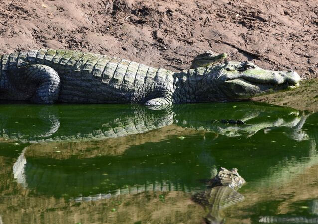 Attaque horrifiante: un crocodile de cinq mètres tue un jeune homme