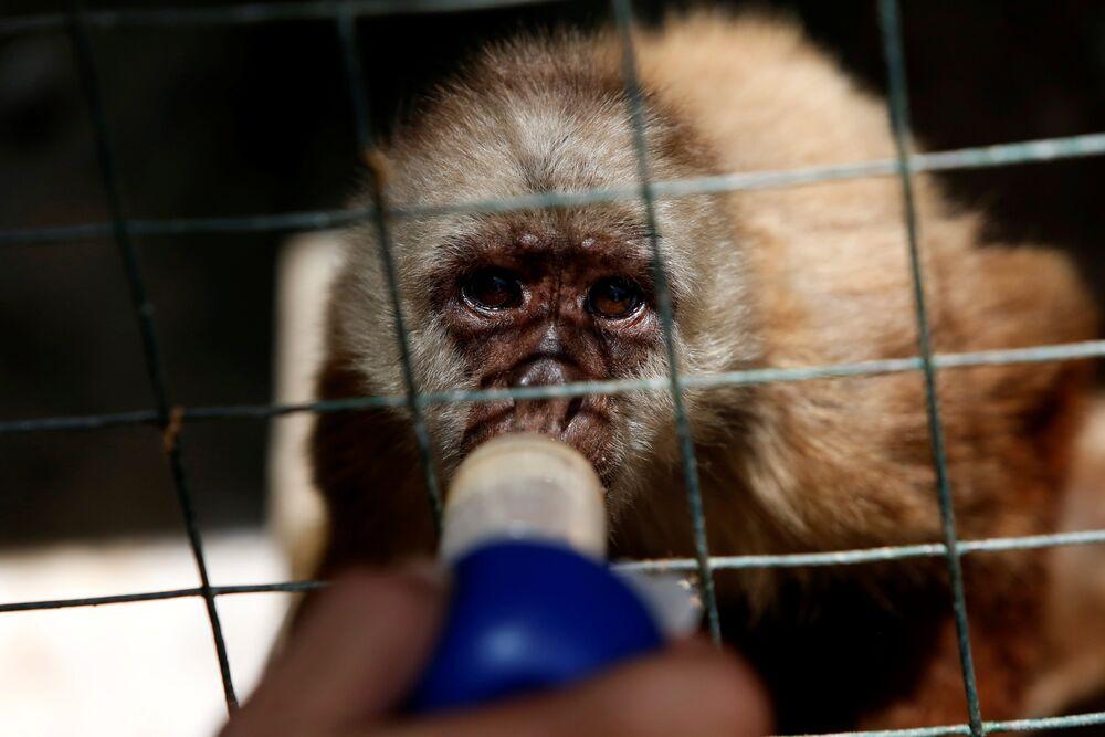 Dans le zoo de Punto Fijo (Venezuela), on donne des vitamines aux animaux à l'aide d'une seringue