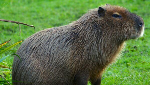 Capybara - Sputnik France
