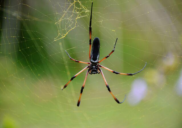Un enfant australien survit à la morsure d'une des araignées les plus vénéneuses