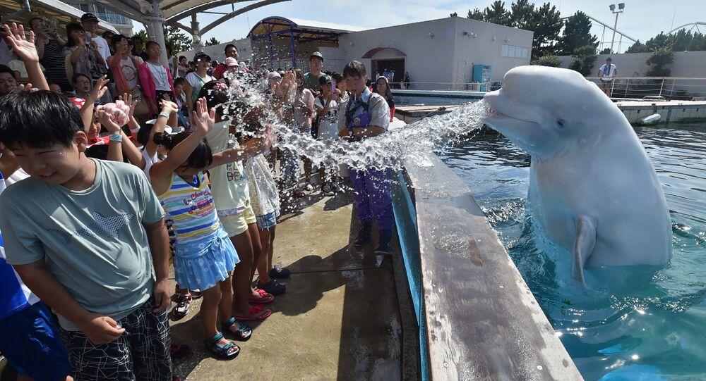 Un béluga pulvérise de l'eau sur les visiteurs dans un parc au Japon