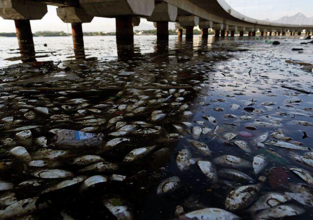 Les poissons morts et des ordures flottent dans la baie polluée  de Guanabara à Rio de Janeiro, Brésil