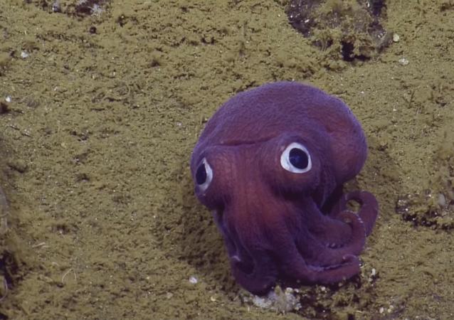 Une petite pieuvre aux yeux globuleux