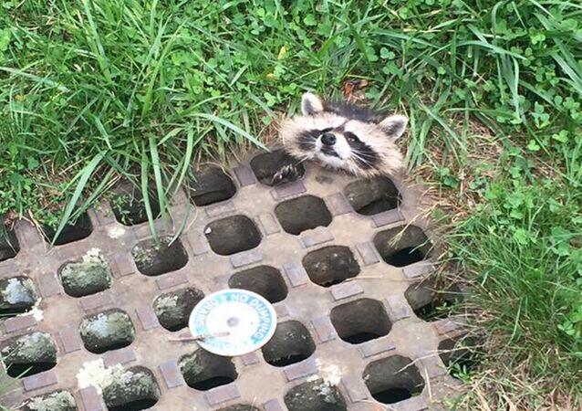 Un raton coincé dans la plaque d'égout
